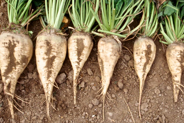 Sugar beets.  Photo by Don Morishita