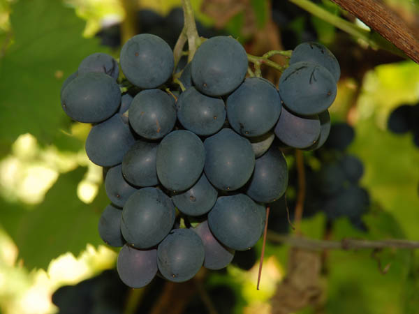 Moldova_vinograd-is_ru