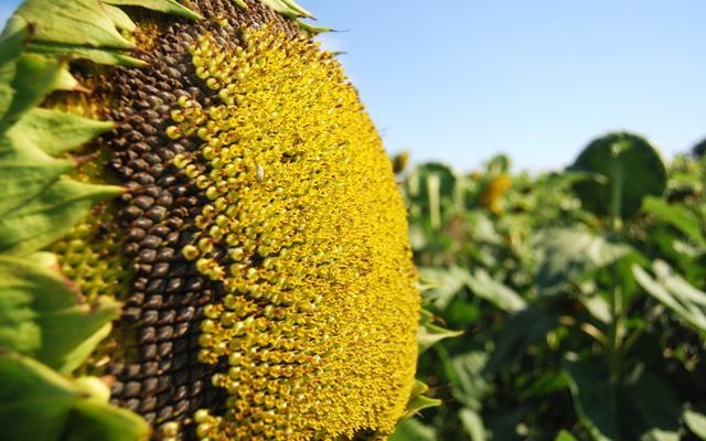 productia-mondiala-de-floarea-soarelui-i-rapi-a-14769