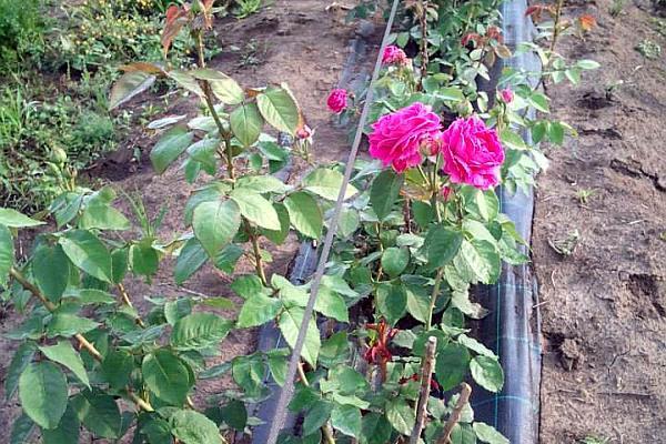 trandafiri-pentru-dulceata