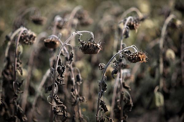 seceta-floarea-soarelui