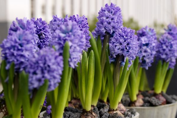flor-zambile