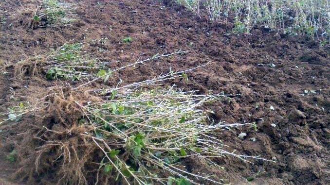 plantarea-coacazului