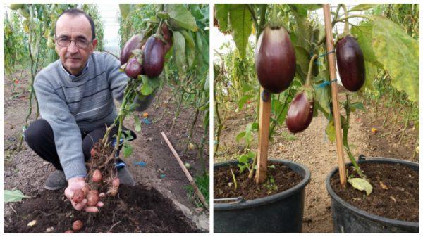 planta-care-face-cartofi-si-vinete