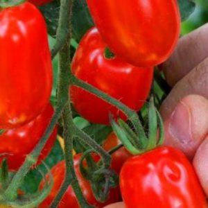 tomate-rosii