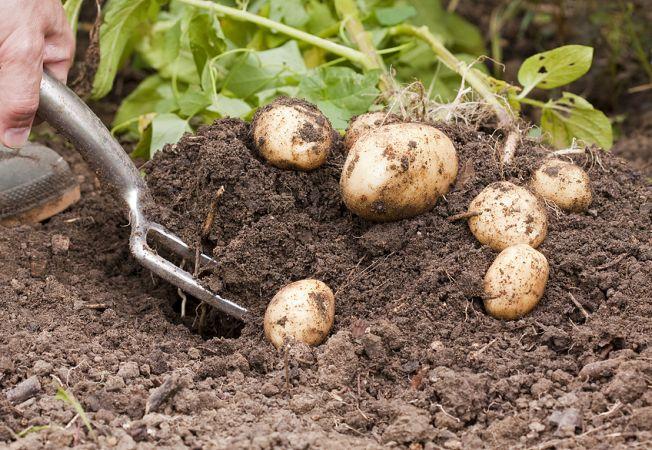 652x450_163028-cartofi
